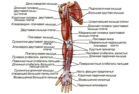 Мышцы человека назначение и классификация
